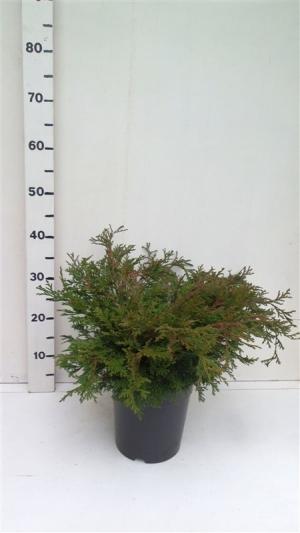 Chamaecyparis obt. 'Pygmaea' ES19  C3