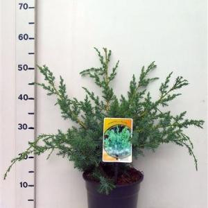 Juniperus chinensis 'Blue Alps' ES19  C3