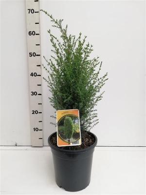 Juniperus communis  'Arnold' ES19  C3