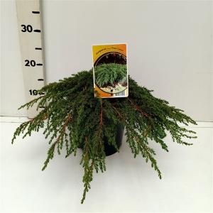 Juniperus communis 'Green Carpet' ES19  C3