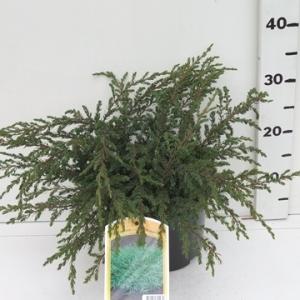 Juniperus communis 'Repanda' ES19  C3