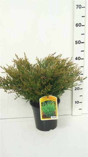 Juniperus hor. 'Andorra Compact' ES19  C3