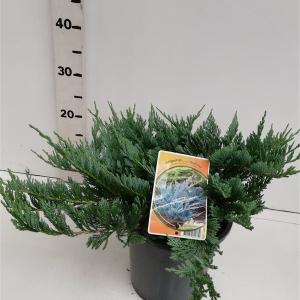 Juniperus hor. 'Blue Chip' ES19  C3