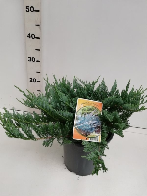 Juniperus hor. 'Blue Chip' ES19  C3