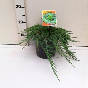 Juniperus hor. 'Pancake' ES19  C3