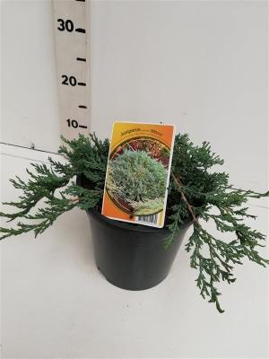 Juniperus hor. 'Wiltonii' ES19  C3