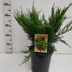 Juniperus pfitzeriana 'Mint Julep' ES19  C3