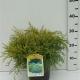 Juniperus pfitzeriana'Gold Coast' ES19  C3