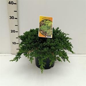Juniperus procumbens 'Nana' ES19  C3