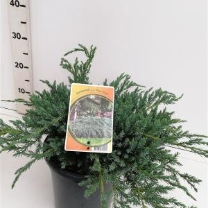 Juniperus squamata 'Blue Carpet' ES19  C3