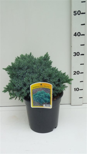 Juniperus squamata 'Blue Star' ES19  C3