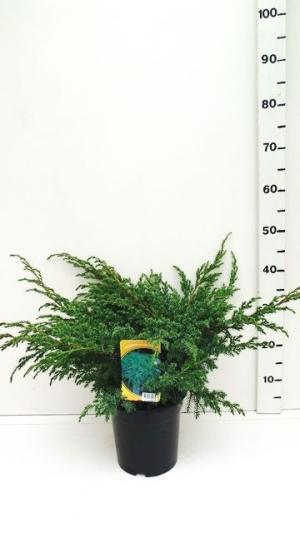Juniperus squamata 'Blue Sweden ES19  C3