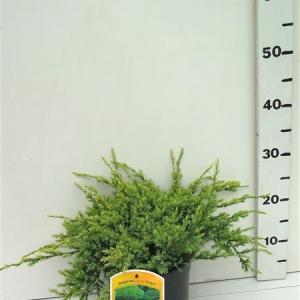 Juniperus squamata 'Holger' ES19  C3