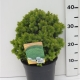 Picea glauca 'Alberta Globe' ES19  C3