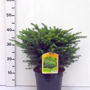 Picea omorika ' Karel ES19  C3