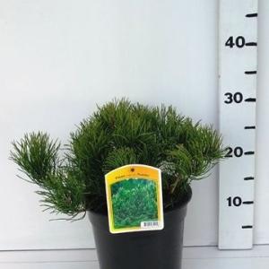 Pinus mugo 'Pumilio ES19  C3