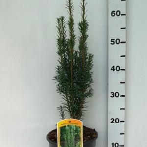 Taxus bacc Fastigiata Cappenberg ES19  C3