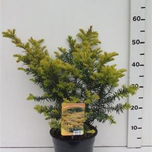 Taxus bacc. 'Summergold' ES19  C3